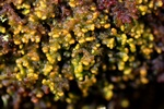 Tree Fringewort (Ptilidium pulcherrimum)